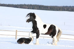 Nice border collie playing with a horse Stock Images