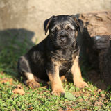 Nice border terrier puppy Stock Photography