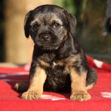 Nice border terrier puppy Stock Images