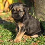 Nice border terrier puppy Stock Photos
