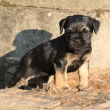 Nice border terrier puppy Stock Photo