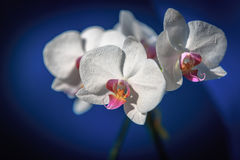 Nice bouquet of fresh orchid flowers Royalty Free Stock Images