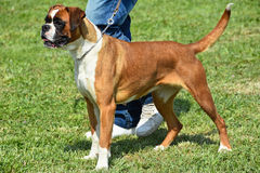 Nice boxer dog stands outdoors Royalty Free Stock Images