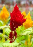 Red and yellow celosia or cockscomb flowers Stock Image