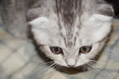 Nice British kitten. Kitten in astonishment sees something interesting Royalty Free Stock Image
