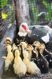 Nice brood of ducks walking in the garden with their mom royalty free stock images