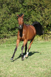 Nice brown arabian mare running Stock Photo