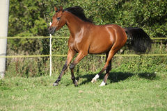 Nice brown arabian mare running Royalty Free Stock Photography