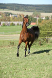 Nice brown arabian mare running Royalty Free Stock Photos