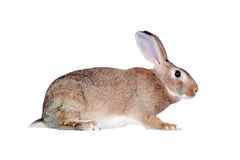 Free Nice Brown Bunny Stock Images - 18102094