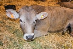 Brown calf placidly lying between the straws at a cattle fair. Nice Brown calf placidly lying between the straws at a cattle fair stock photo