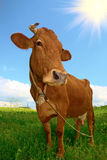 Nice brown cow Stock Image