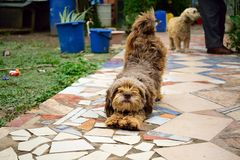 Nice brown dog `chapi` stretching in the morning like a yoga hasana royalty free stock photos