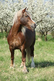 Nice brown draft horse in front of flowering plum trees Royalty Free Stock Photos