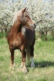 Nice brown draft horse in front of flowering plum trees