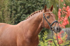 Nice dutch warmblood with perfect hairstyle Royalty Free Stock Images