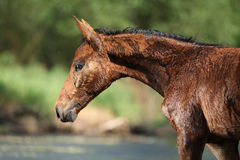 Nice brown foal first time in the wather Royalty Free Stock Image