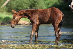Nice brown foal first time in the wather Stock Photography