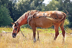 Nice brown horse in the meadow Royalty Free Stock Photos