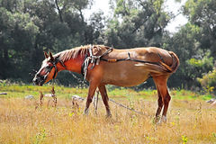 Nice brown horse in the meadow Stock Photography