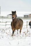 Nice brown horse running away in winter Royalty Free Stock Photos