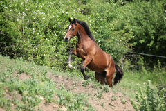 Nice brown horse running uphill Royalty Free Stock Photos