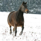 Nice brown horse running in winter Stock Photo