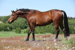 Nice brown horse with show halter, looking at you Royalty Free Stock Image