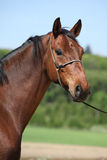 Nice brown horse with show halter, looking at you Stock Photo