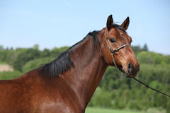 Nice brown horse with show halter, looking at you. Nice brown horse with show halter, standing in nature and looking at you stock photo
