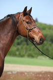 Nice brown horse with show halter, looking at you. Nice brown horse with show halter, standing in nature and looking at you royalty free stock photo