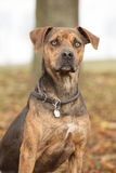 Louisiana Catahoula dog in Autumn Royalty Free Stock Photography
