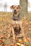 Louisiana Catahoula dog in Autumn Stock Photography