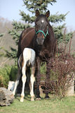 Nice brown mare with its piebald foal Royalty Free Stock Images