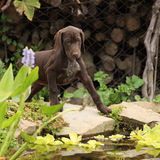 Nice brown puppy in the garden Royalty Free Stock Photos