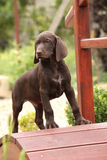 Nice brown puppy on small garden bridge Royalty Free Stock Photography