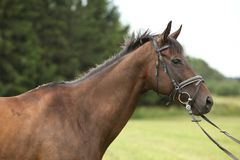 Nice brown purebred horse Royalty Free Stock Photos