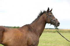 Nice brown purebred horse Royalty Free Stock Photo