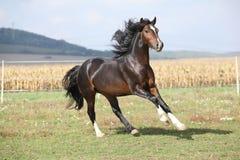 Nice brown stallion with long mane running Stock Photo