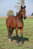Nice brown warmblood standing in autumn Stock Photo