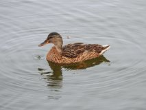 Beautiful wild duck in lake, Lithuania stock photos