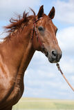 Nice Budyonny horse standing on meadow Royalty Free Stock Images