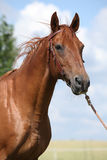 Nice Budyonny horse standing on meadow Royalty Free Stock Photo