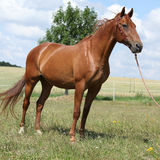 Nice Budyonny horse standing on meadow Royalty Free Stock Photography