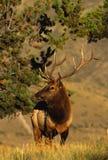 Nice Bull Elk Stock Images