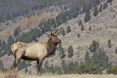 Nice Bull Elk Royalty Free Stock Photography
