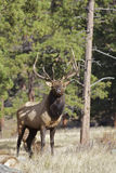 Nice Bull Elk Stock Image