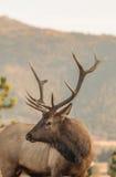 Nice Bull Elk Portrait Stock Images