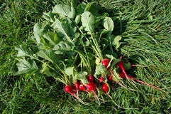 Nice bundle of Freshly Picked Home grown Radishes Royalty Free Stock Photos