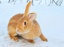Nice bunny on snow Royalty Free Stock Images